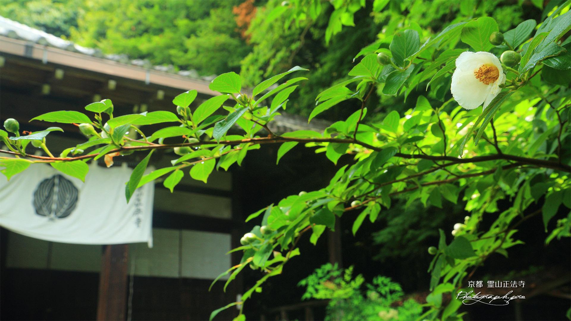 霊山正法寺 ナツツバキと本堂