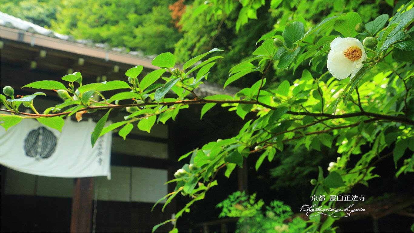 霊山正法寺 ナツツバキと本堂 壁紙