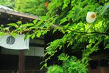 霊山正法寺 シャラノキ(沙羅双樹の木)と本堂