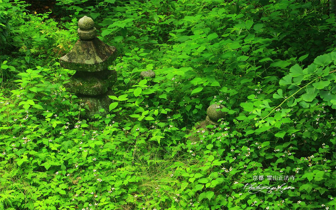 霊山正法寺 ドクダミと石塔 壁紙