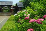 東林院 紫陽花と表門