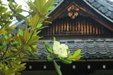 悲田院 タイサンボクと糸雨