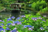 伏見 紫陽花と十石舟