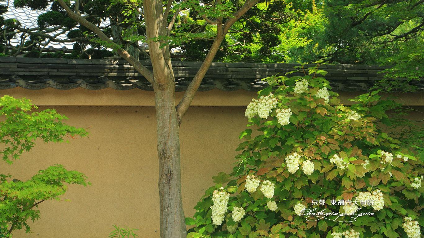 天得院 カシワバアジサイ 壁紙