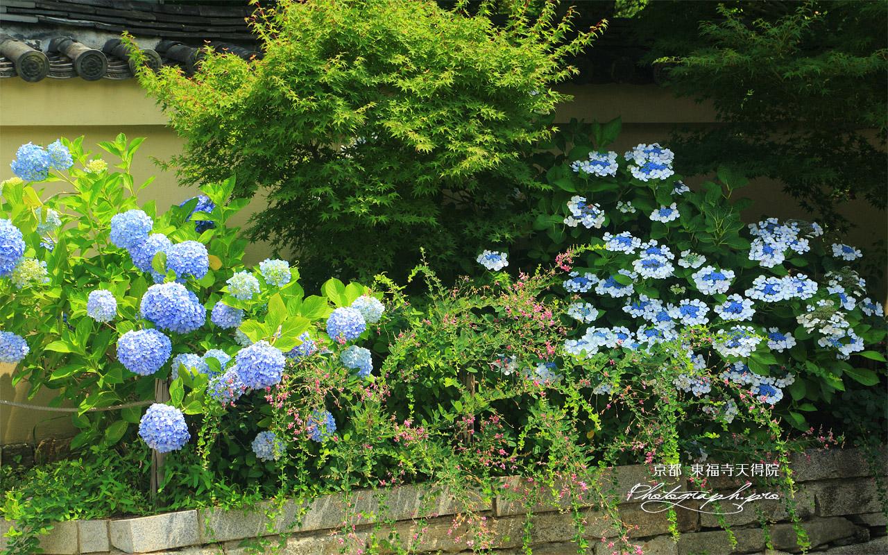 天得院 紫陽花と夏萩 壁紙