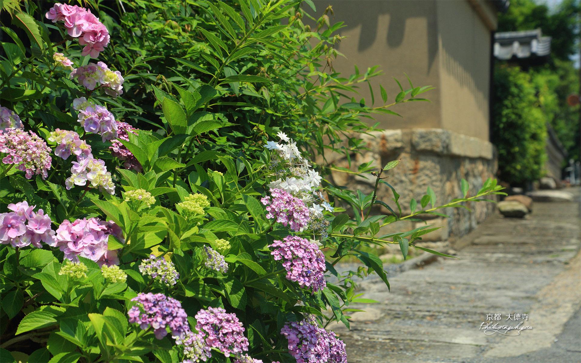 大徳寺 紫陽花