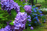 酒解神社 霧滴の紫陽花