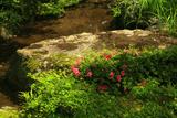 上賀茂社家町 西村家庭園のサツキ