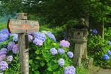 大原 東海自然歩道の紫陽花