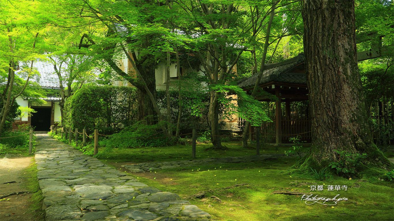 蓮華寺 ギンナンと青椛 壁紙
