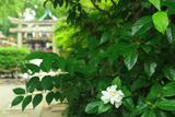 田中神社 クチナシ