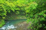 梅ケ畑 清滝川の合歓花