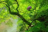梅ケ畑 紫陽花と清滝川