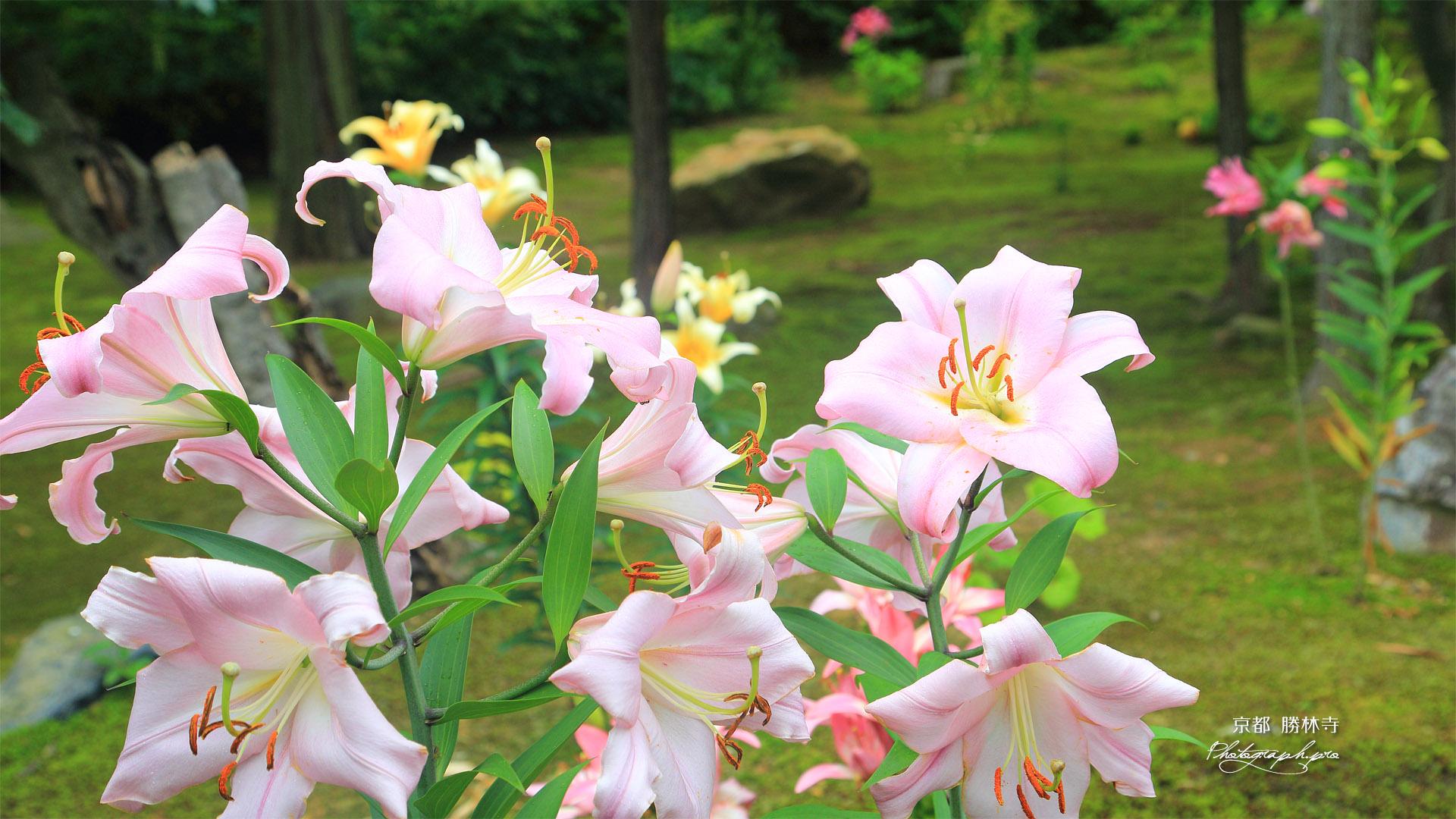 勝林寺 庭園のユリ