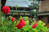 因幡堂 不明門通のバラ