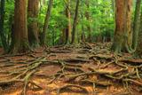 鞍馬 梅雨時の木の根道