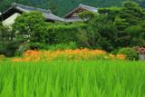京都 静原の青田