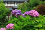 京都 静原の紫陽花