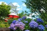 園部城跡 紫陽花と野点傘