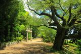 京都岩倉 幡枝八幡宮のヤマザクラ