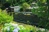 京都中川 あじさいと清滝川