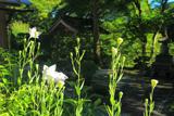京都 龍澤寺のキキョウ