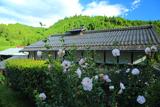 京都 大森のムクゲ