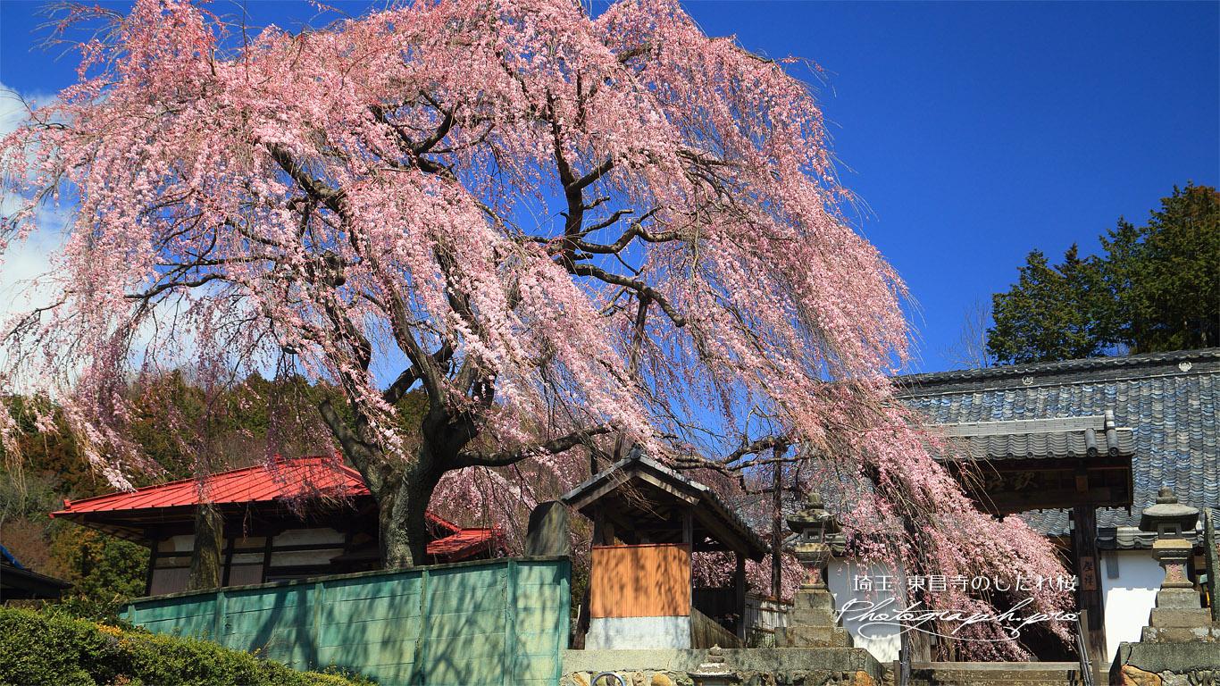 東昌寺のしだれ桜 壁紙