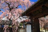 東昌寺のしだれ桜