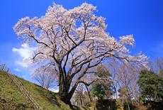 鉢形城のエドヒガン