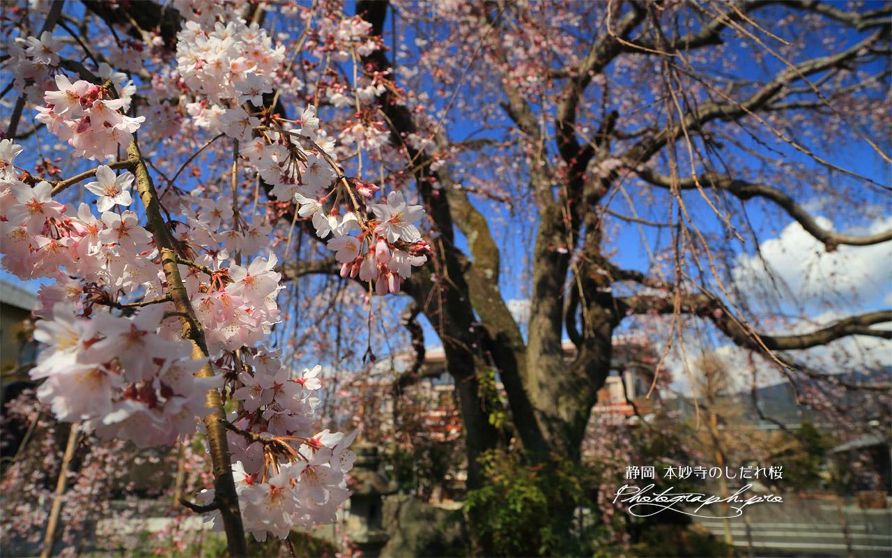 本妙寺のしだれ桜 壁紙