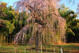 普門寺のしだれ桜