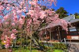 太山寺の岩しだれ桜