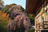満願寺のシダレザクラ