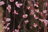 一乗院のしだれ桜