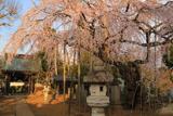 随翁院のしだれ桜