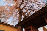 安食の地蔵桜