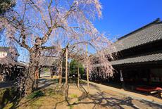 慶龍寺のしだれ桜