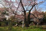 長柄神社のエドヒガン桜