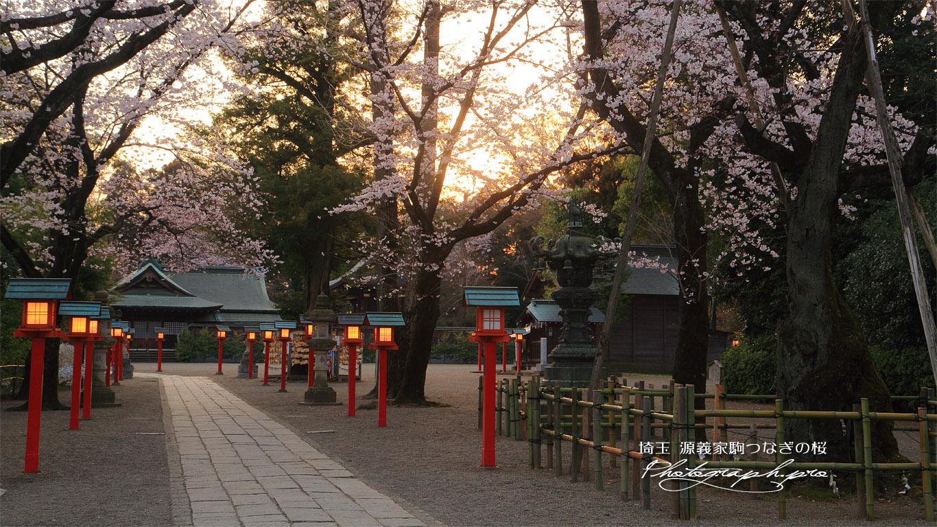 八幡太郎源義家駒つなぎの桜 壁紙