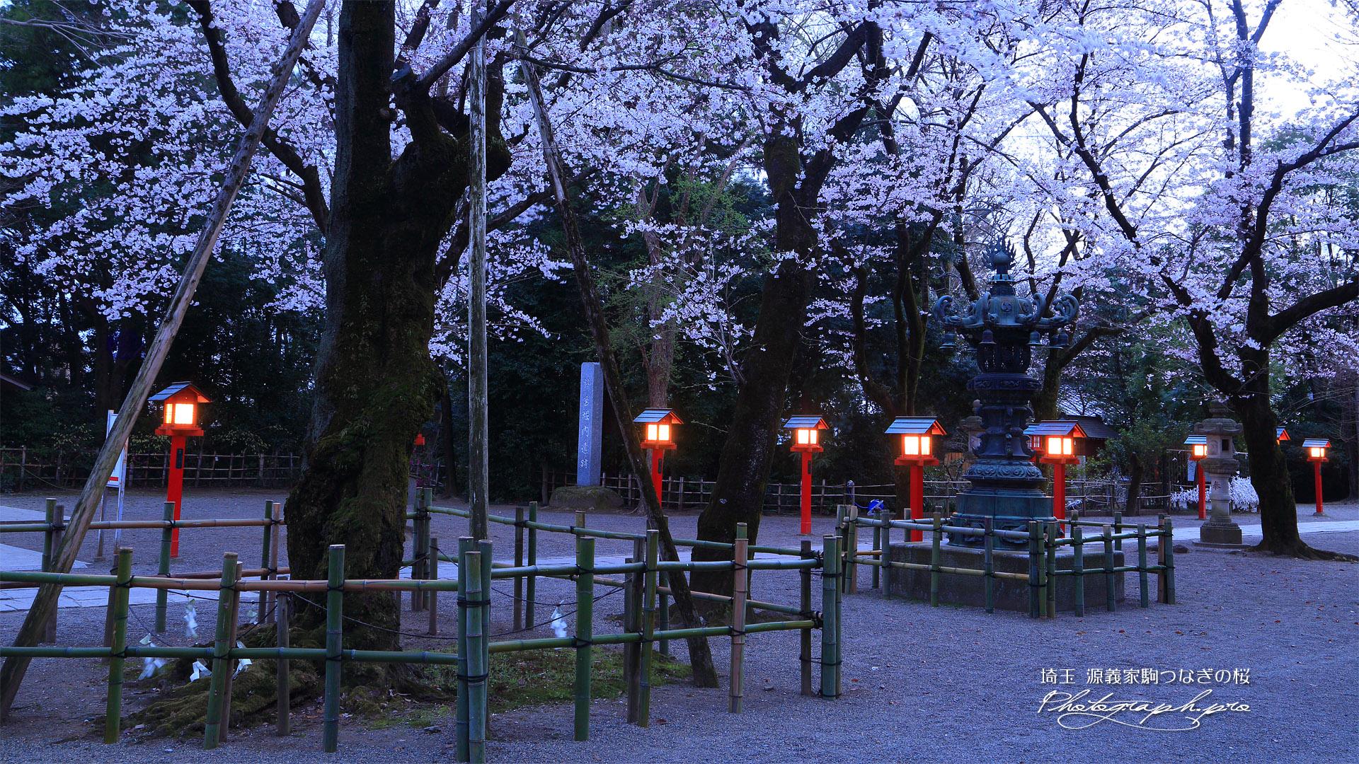 八幡太郎源義家駒つなぎの桜