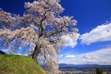 麻績の里石塚桜