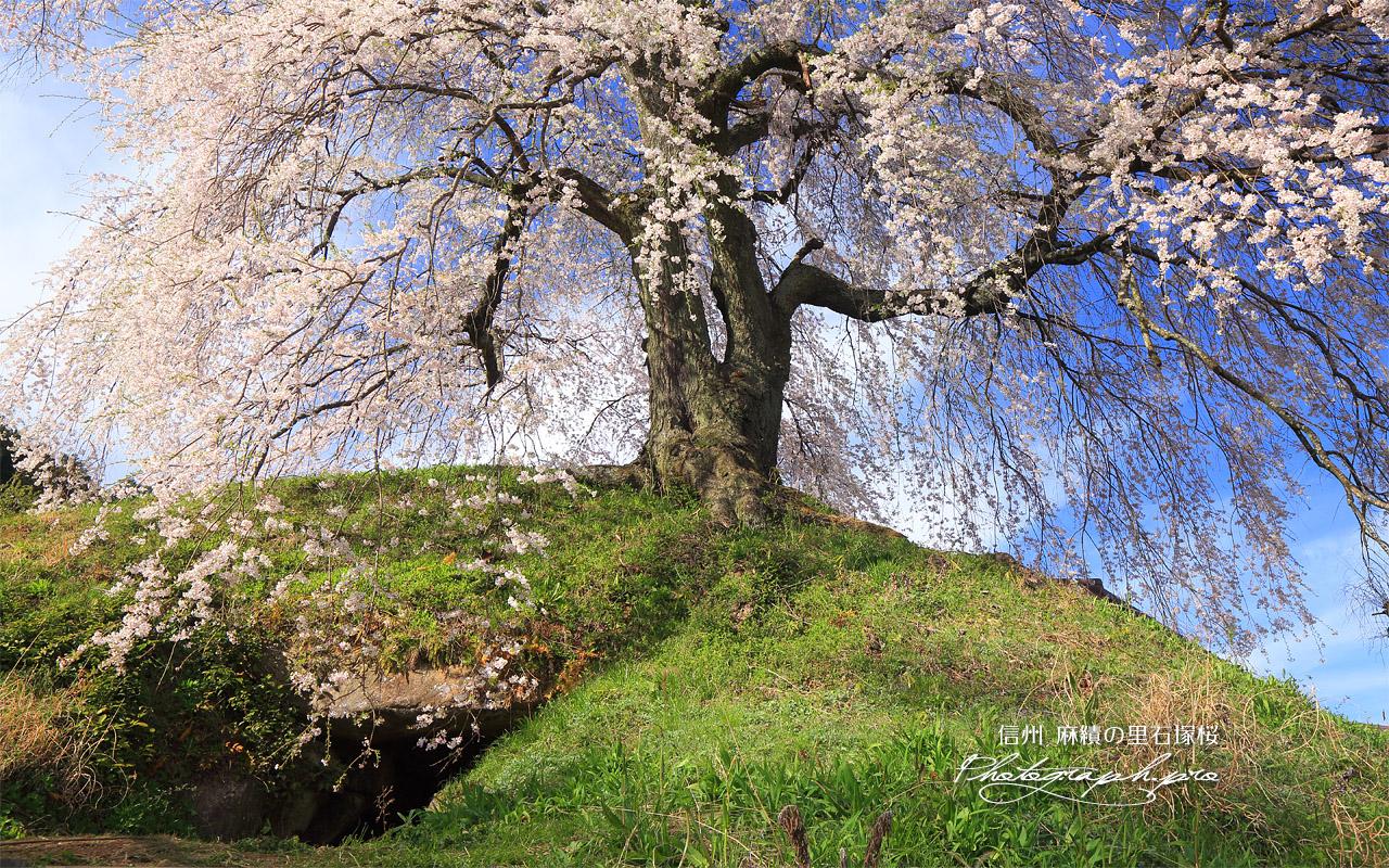 麻績の里石塚桜 壁紙