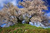 最見塚古墳の夫婦桜