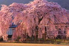 信州飯田の桜