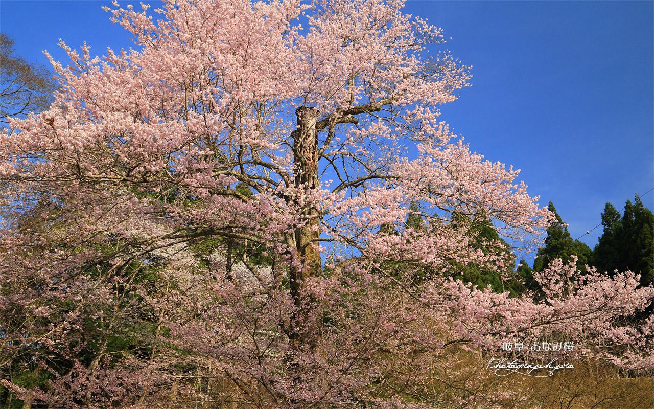 おなみ桜 壁紙