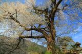 板所の彼岸桜