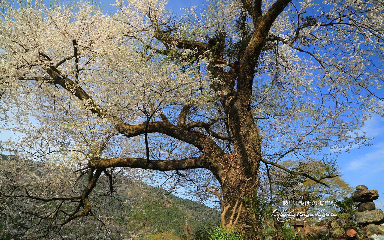 板所の彼岸桜 壁紙