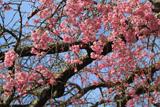 筑波大学のしだれ桜