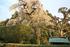面野井のしだれ桜